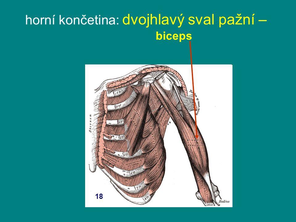 horní končetina: dvojhlavý sval pažní –