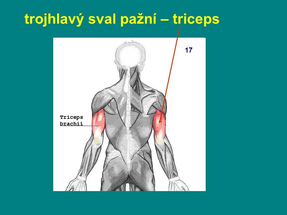trojhlavý sval pažní – triceps