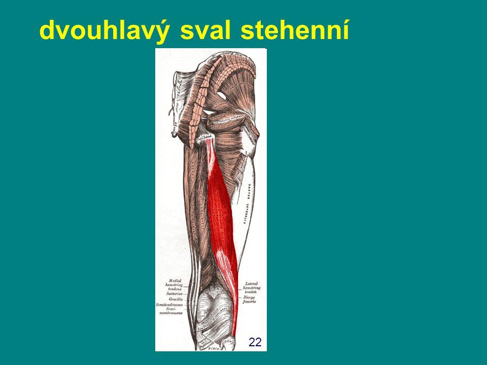dvouhlavý sval stehenní