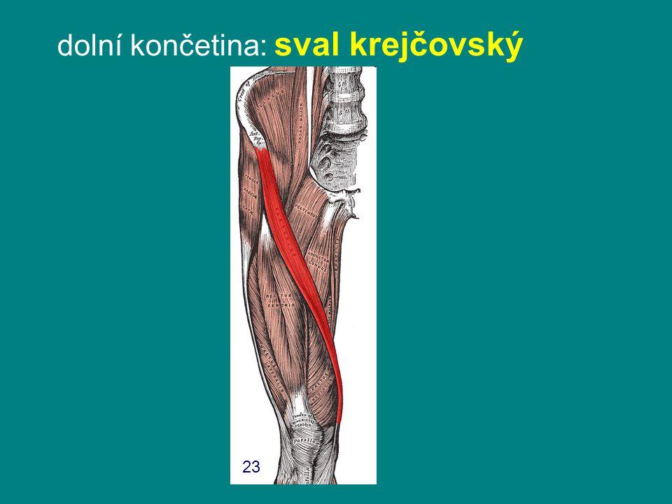 dolní končetina: sval krejčovský