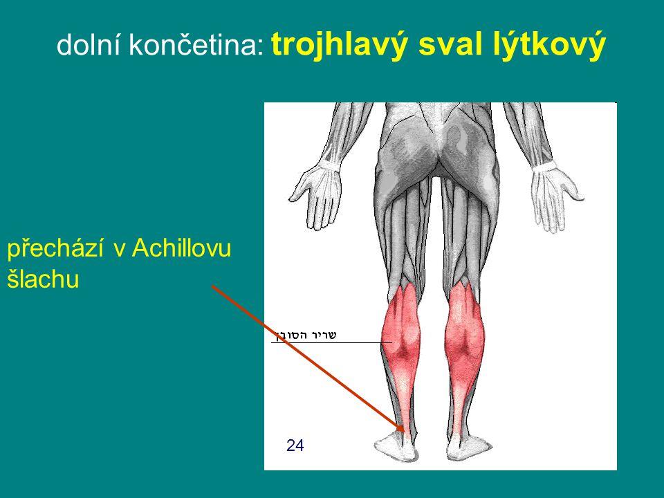 dolní končetina: trojhlavý sval lýtkový