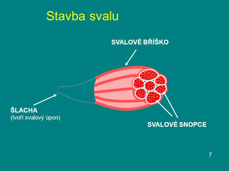 Stavba svalu SVALOVÉ BŘÍŠKO ŠLACHA (tvoří svalový úpon) SVALOVÉ SNOPCE