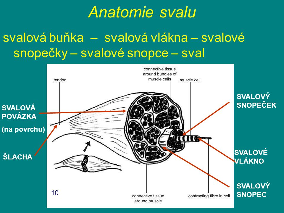 Anatomie svalu svalová buňka – svalová vlákna – svalové snopečky – svalové snopce – sval. SVALOVÝ SNOPEČEK.