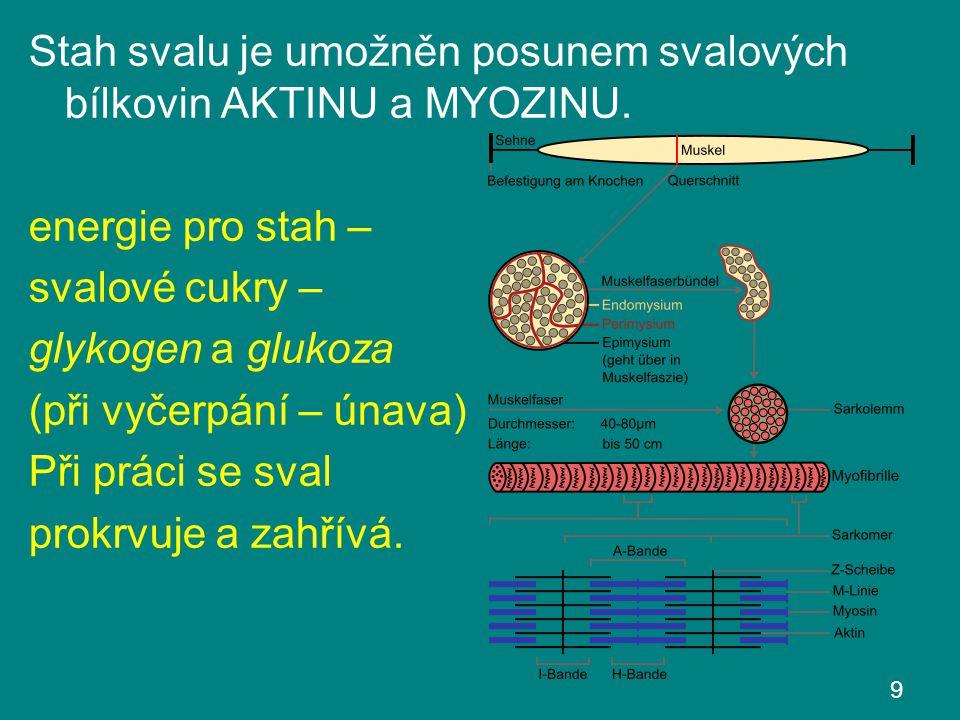 Stah svalu je umožněn posunem svalových bílkovin AKTINU a MYOZINU.