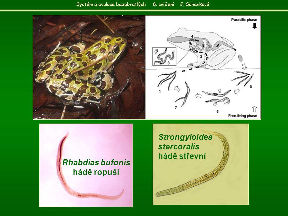 Rhabdias bufonis hádě ropuší