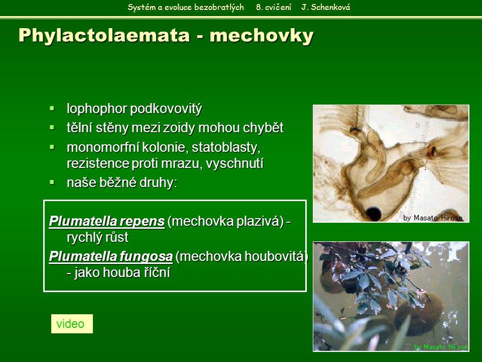 Phylactolaemata - mechovky