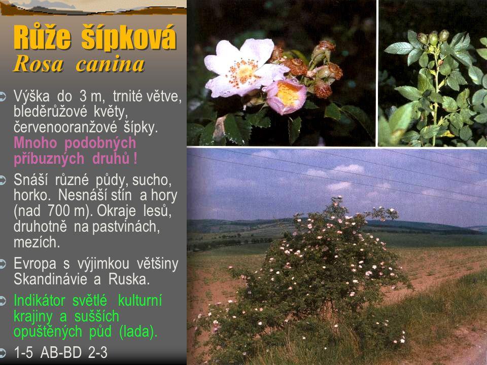 Růže šípková Rosa canina