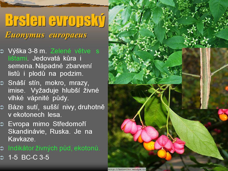 Brslen evropský Euonymus europaeus