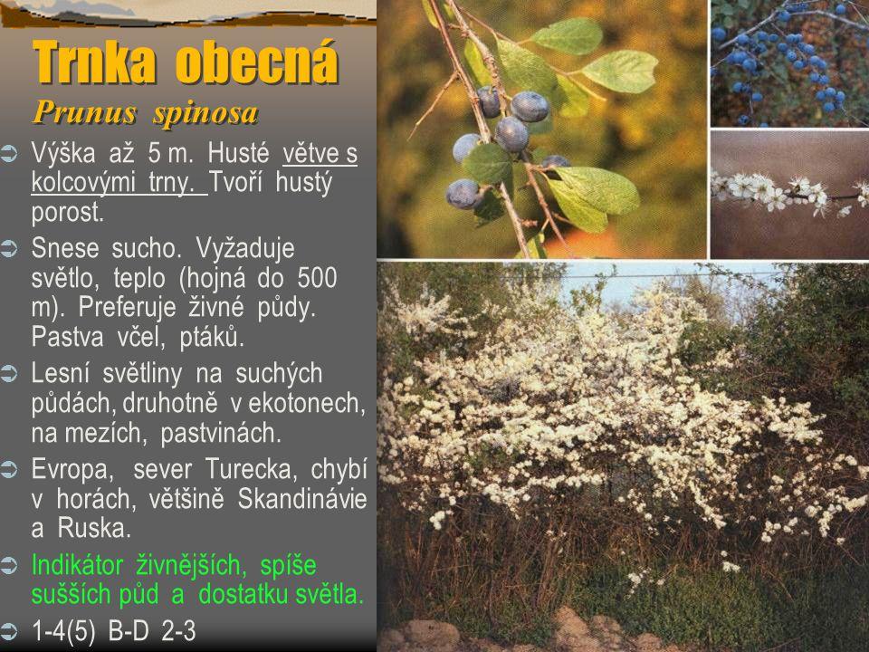 Trnka obecná Prunus spinosa