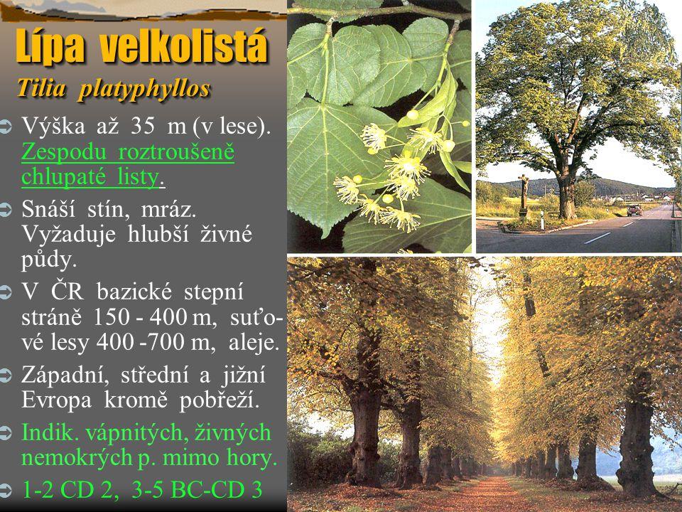Lípa velkolistá Tilia platyphyllos