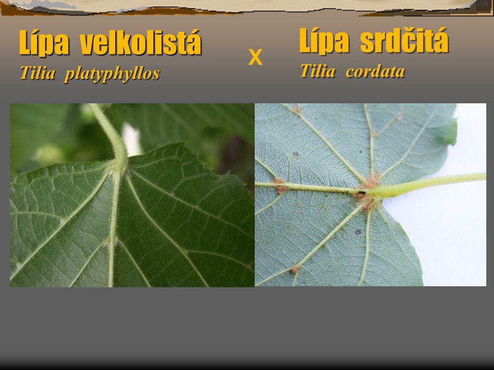 Lípa velkolistá Tilia platyphyllos Lípa srdčitá Tilia cordata