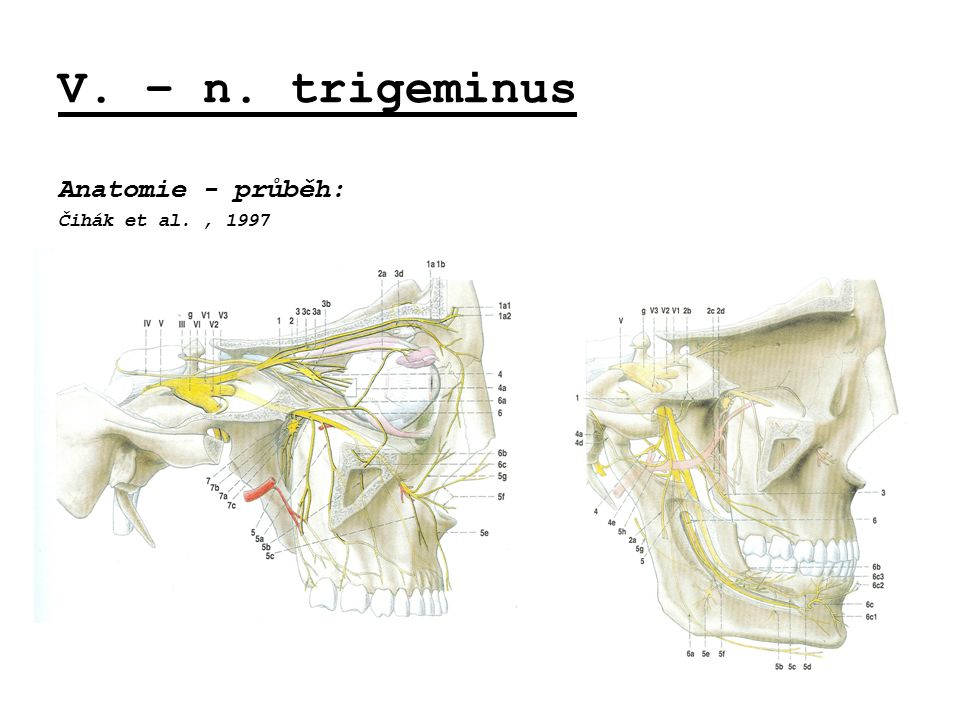 V. – n. trigeminus Anatomie - průběh: Čihák et al. , 1997