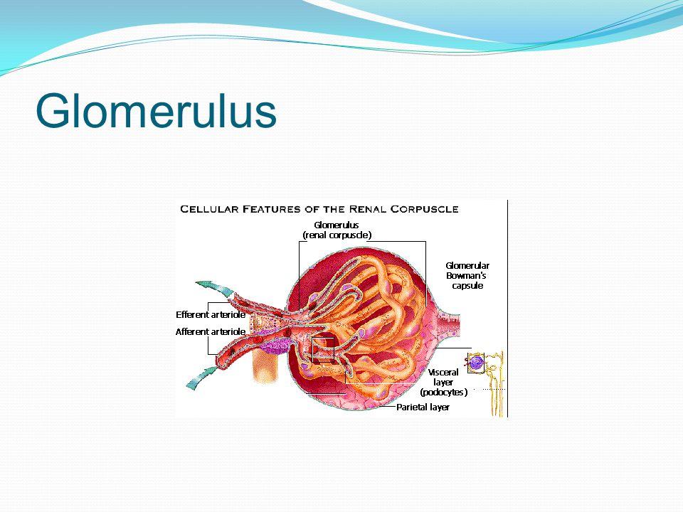 Glomerulus
