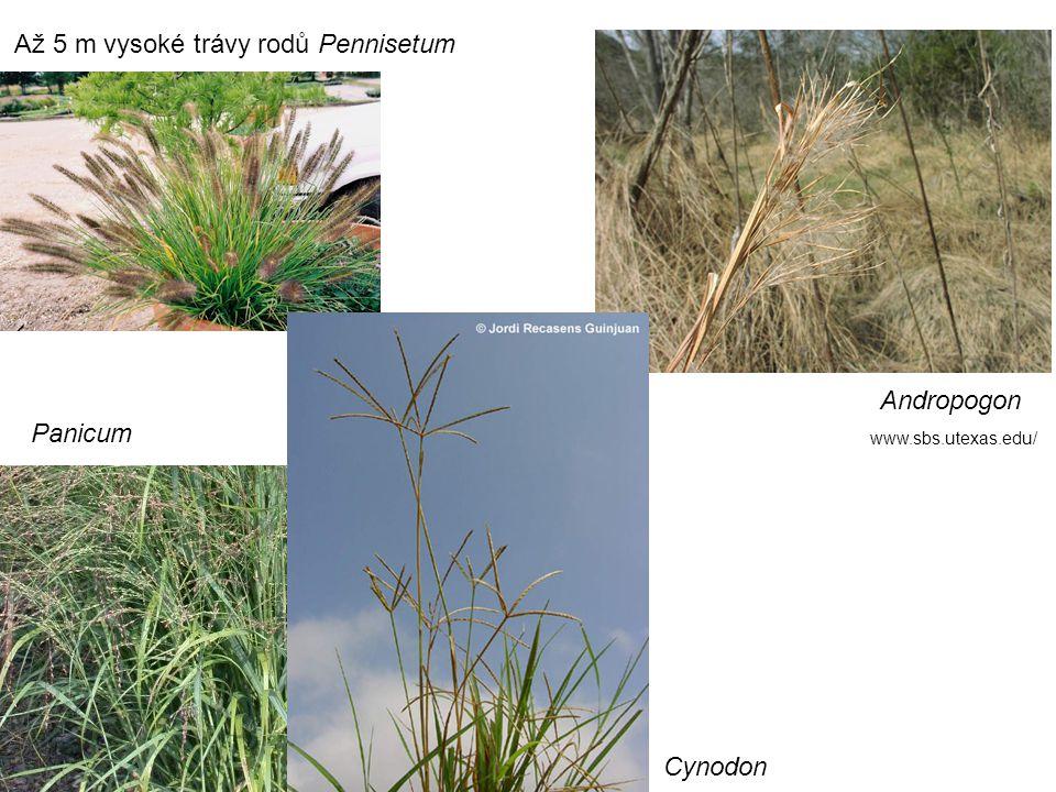 Až 5 m vysoké trávy rodů Pennisetum