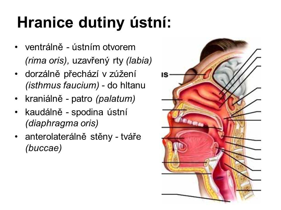 Hranice dutiny ústní: ventrálně - ústním otvorem