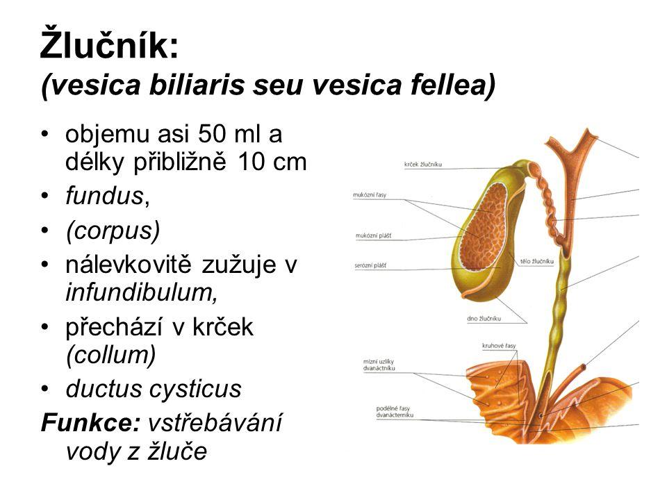 Žlučník: (vesica biliaris seu vesica fellea)