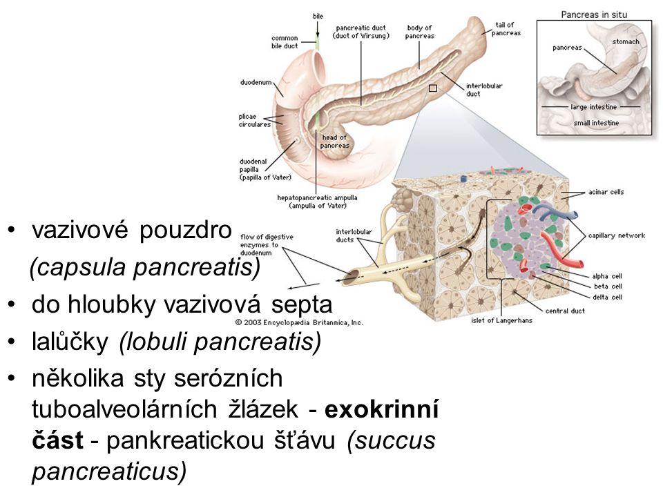 vazivové pouzdro (capsula pancreatis) do hloubky vazivová septa. lalůčky (lobuli pancreatis)