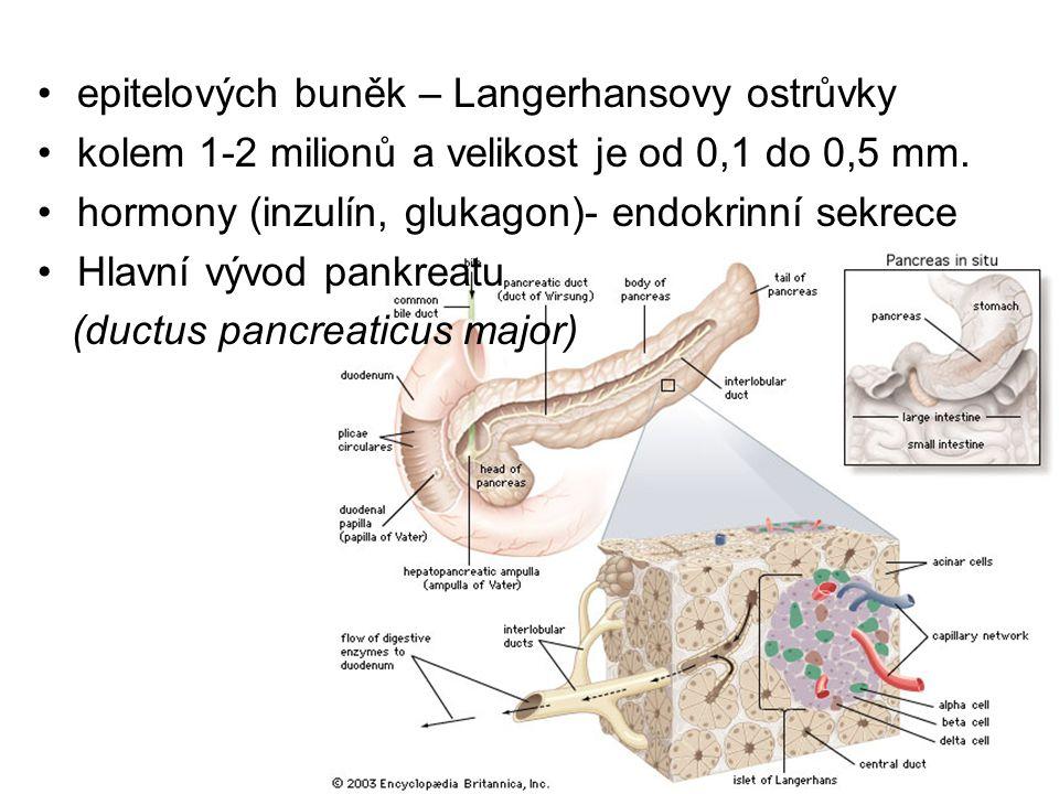 epitelových buněk – Langerhansovy ostrůvky