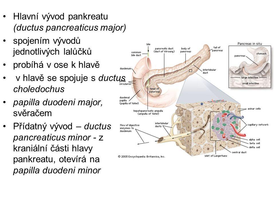 Hlavní vývod pankreatu (ductus pancreaticus major)