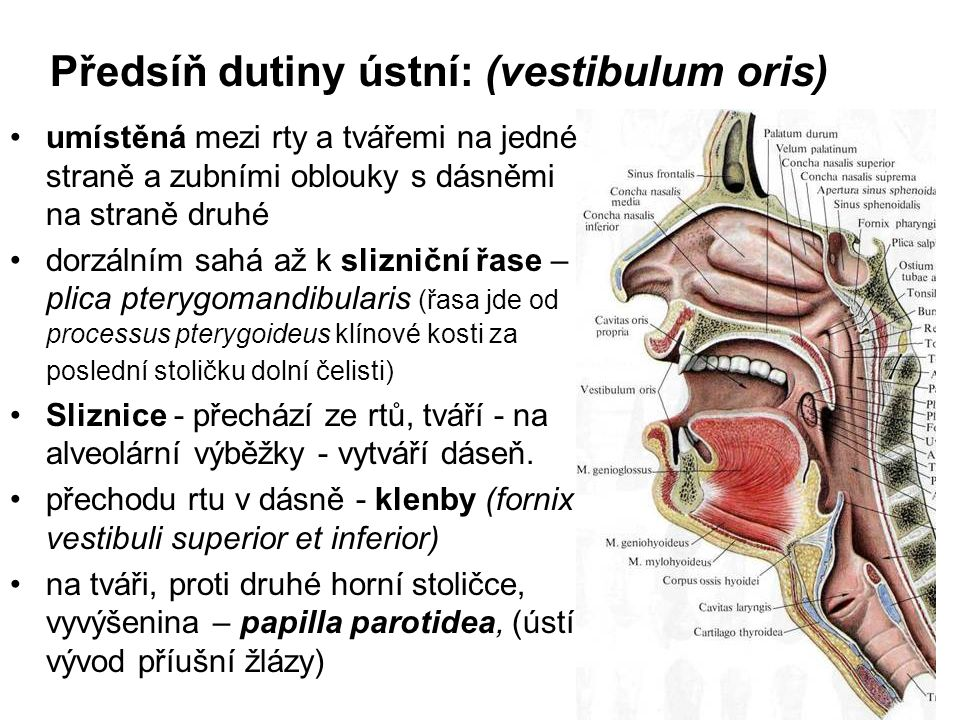 Předsíň dutiny ústní: (vestibulum oris)