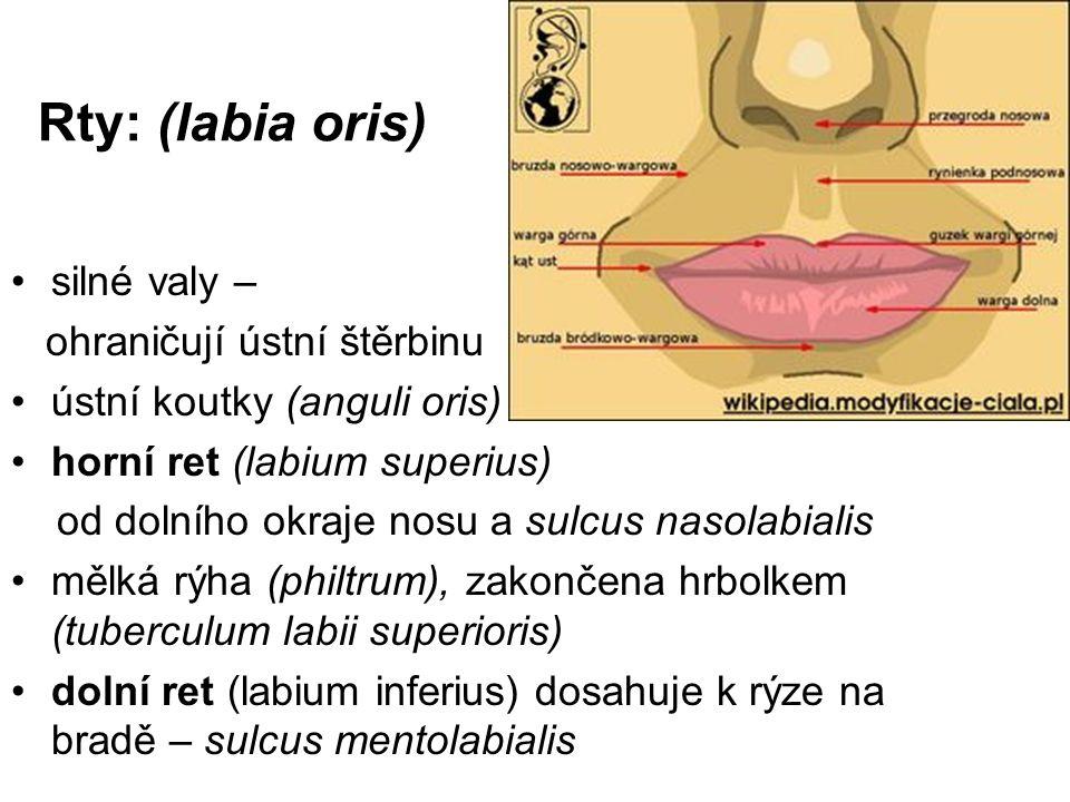 Rty: (labia oris) silné valy – ohraničují ústní štěrbinu