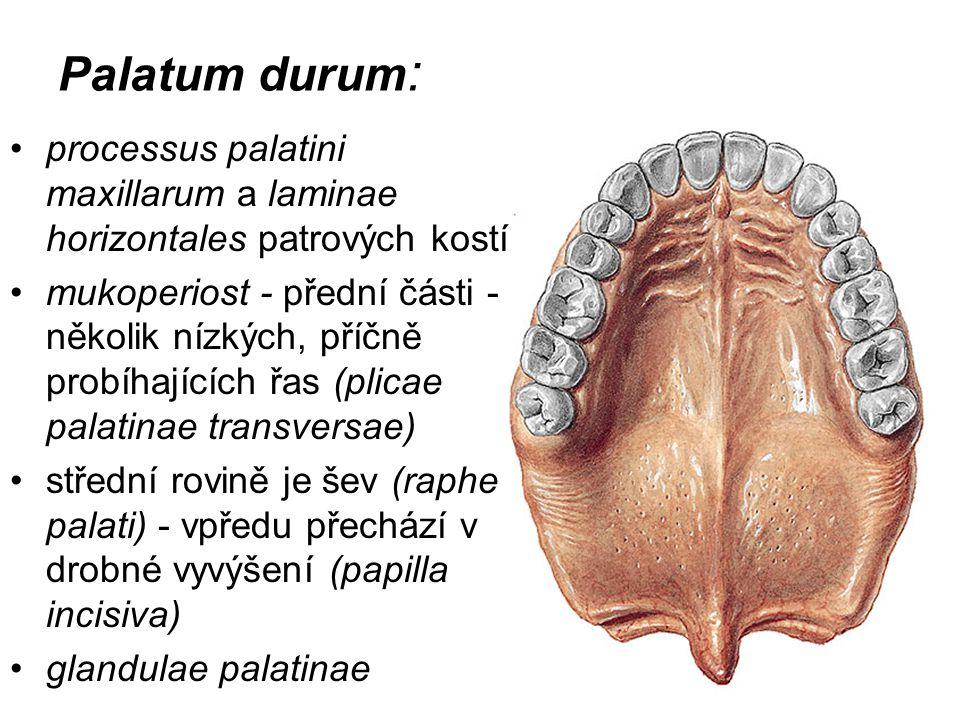 Palatum durum: processus palatini maxillarum a laminae horizontales patrových kostí.