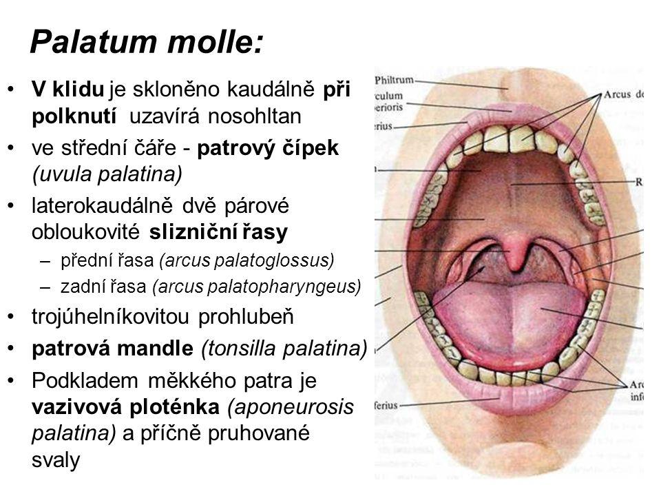 Palatum molle: V klidu je skloněno kaudálně při polknutí uzavírá nosohltan. ve střední čáře - patrový čípek (uvula palatina)