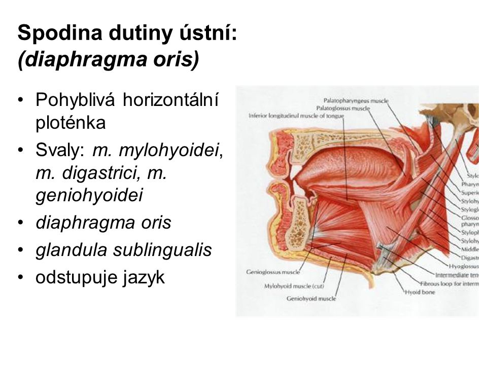 Spodina dutiny ústní: (diaphragma oris)