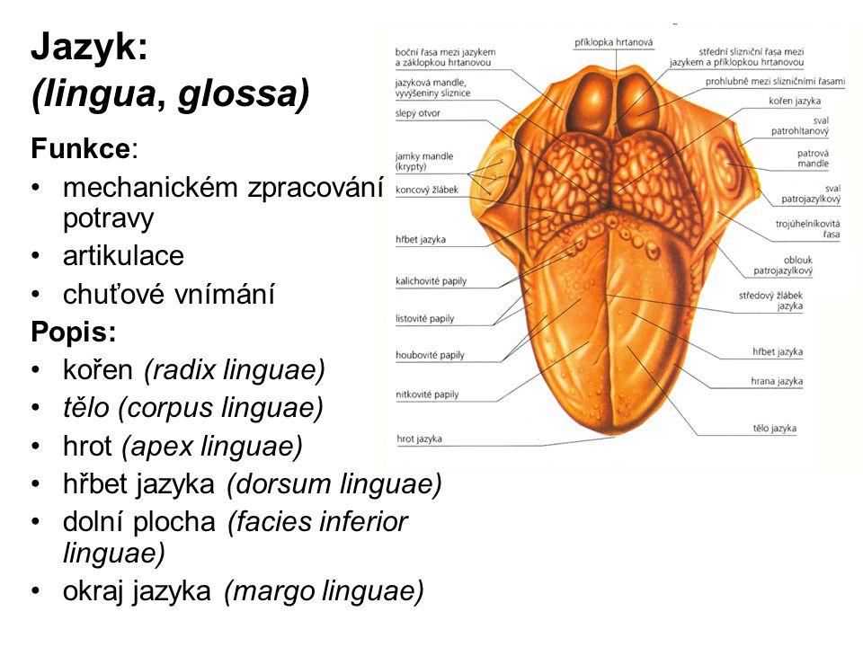 Jazyk: (lingua, glossa)