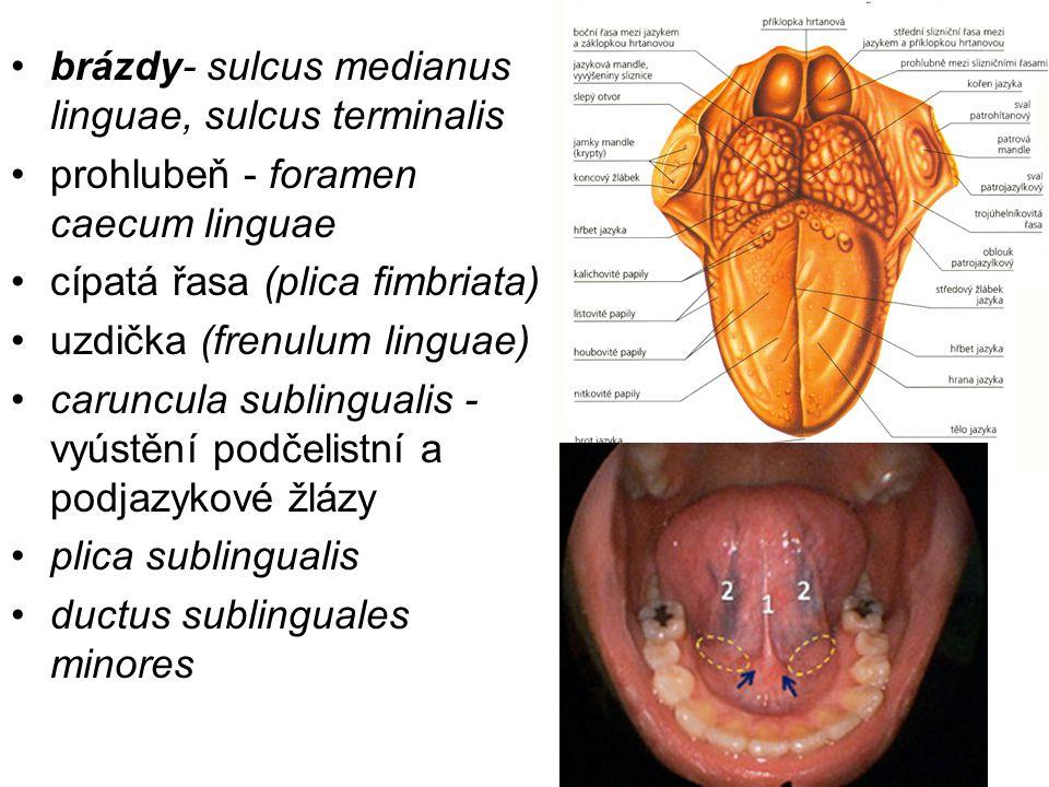 brázdy- sulcus medianus linguae, sulcus terminalis