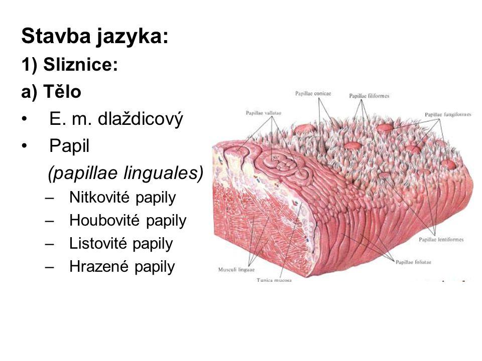 Stavba jazyka: 1) Sliznice: a) Tělo E. m. dlaždicový Papil
