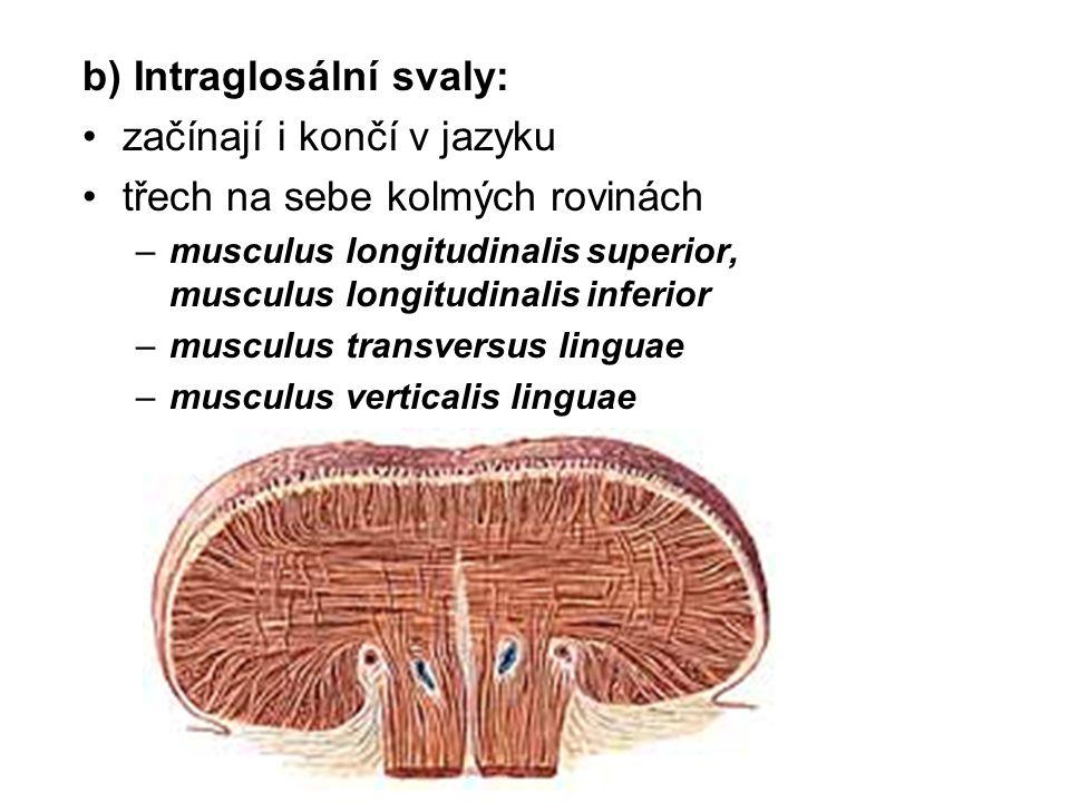b) Intraglosální svaly: začínají i končí v jazyku
