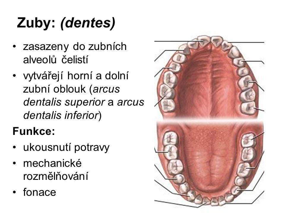 Zuby: (dentes) zasazeny do zubních alveolů čelistí