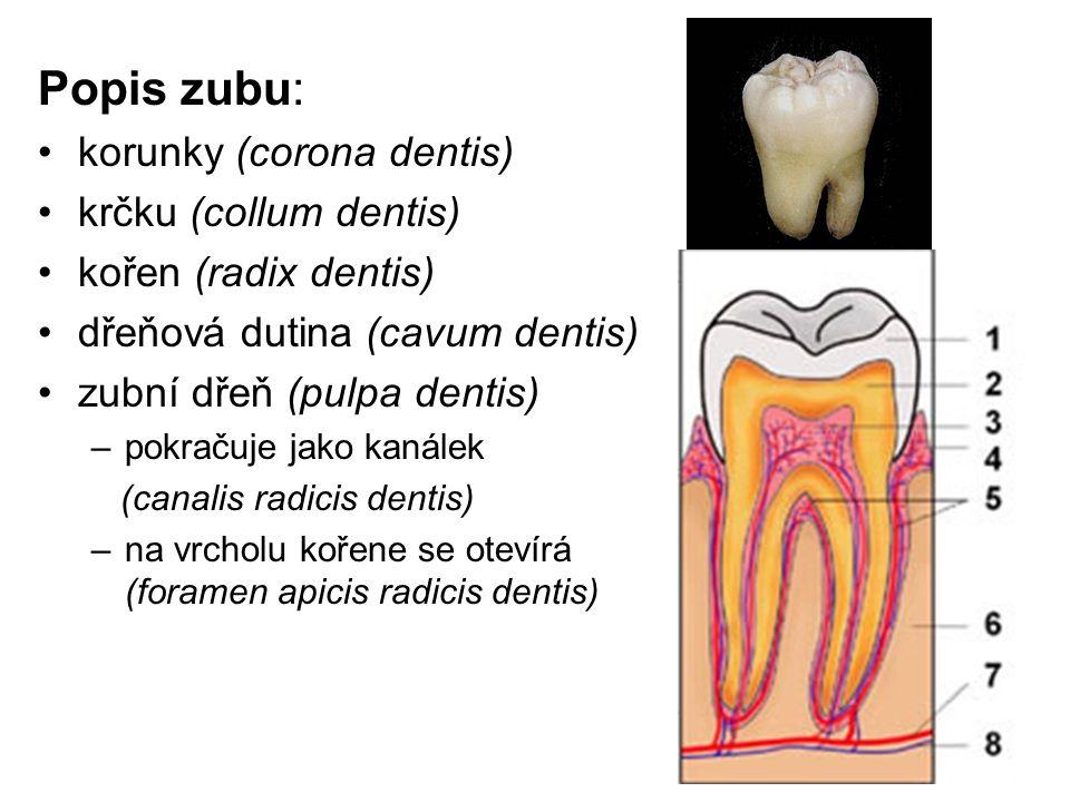 Popis zubu: korunky (corona dentis) krčku (collum dentis)