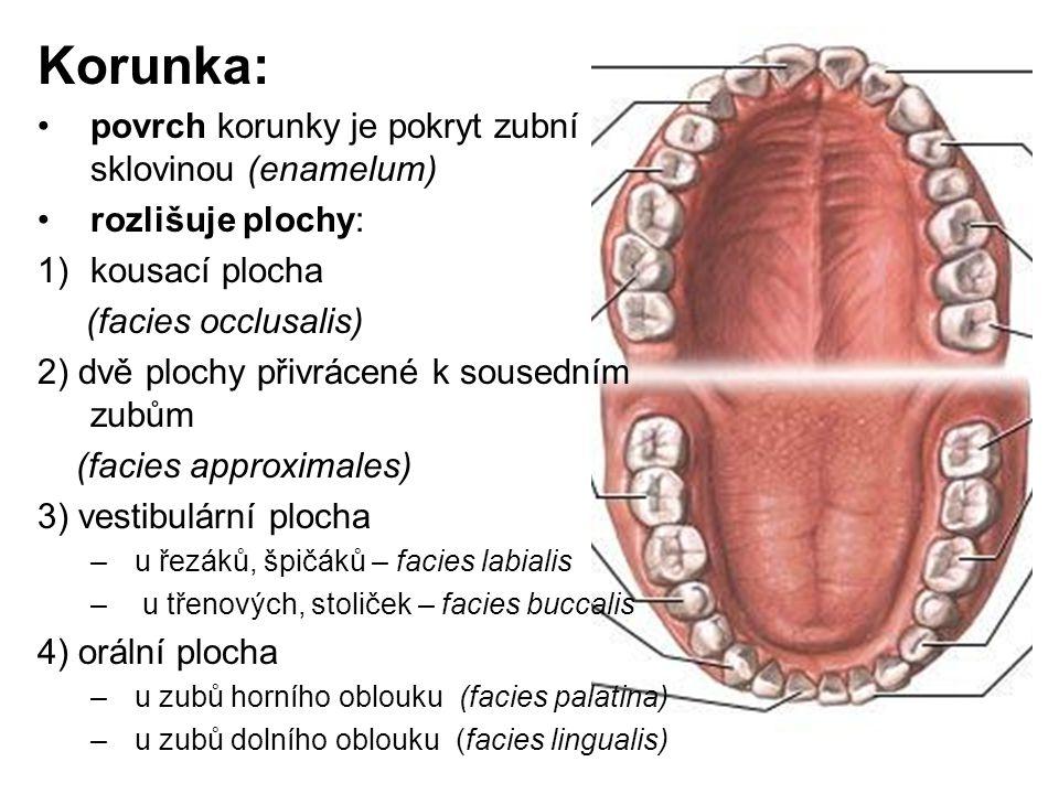Korunka: povrch korunky je pokryt zubní sklovinou (enamelum)