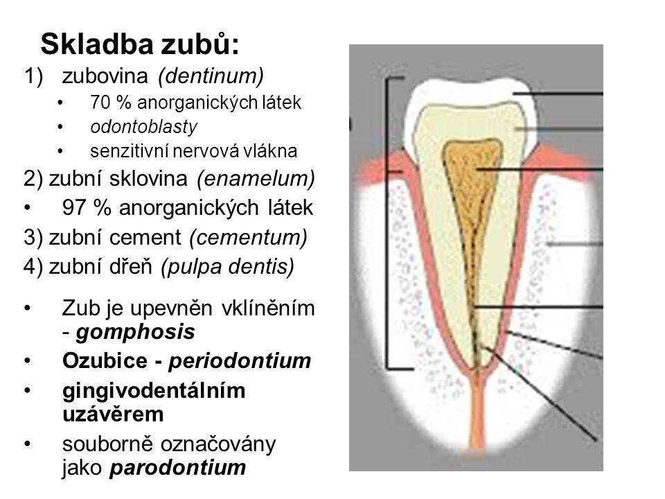 Skladba zubů: zubovina (dentinum) 2) zubní sklovina (enamelum)