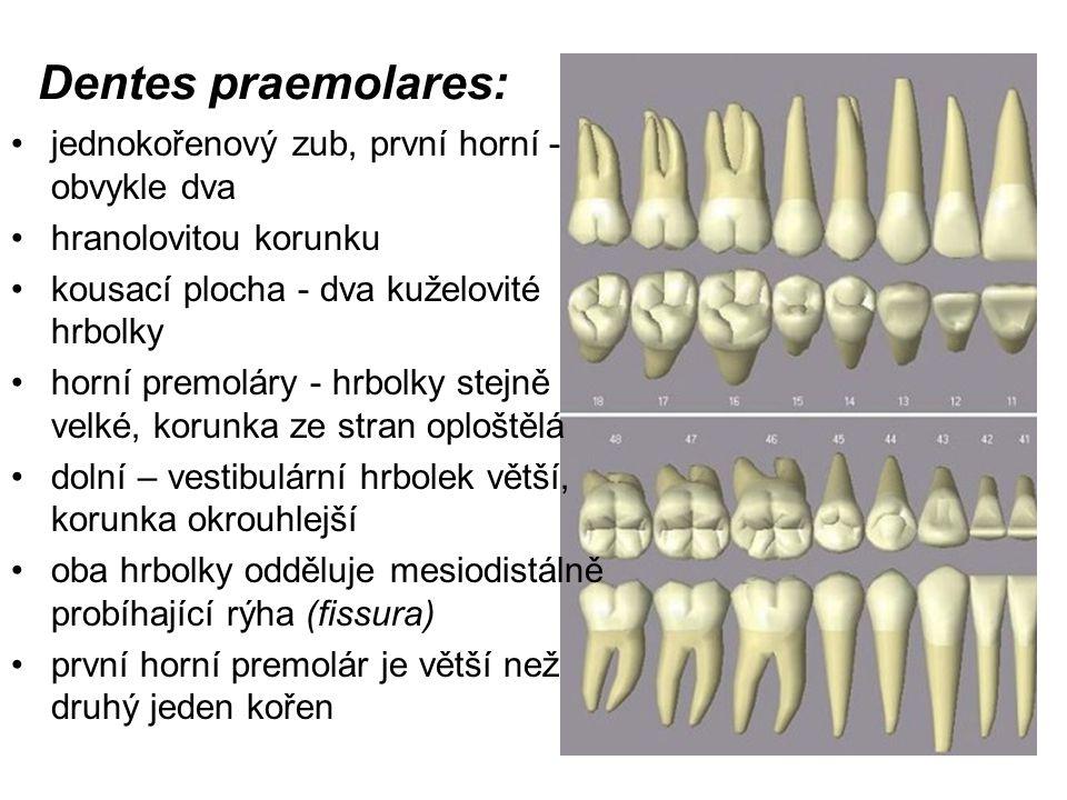 Dentes praemolares: jednokořenový zub, první horní - obvykle dva