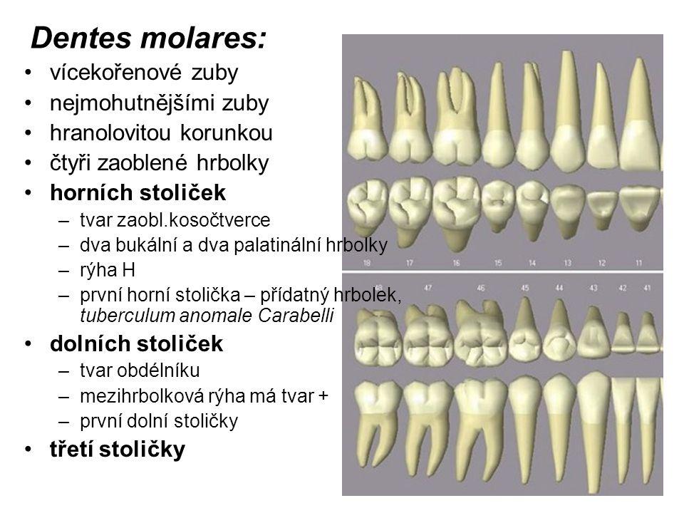 Dentes molares: vícekořenové zuby nejmohutnějšími zuby