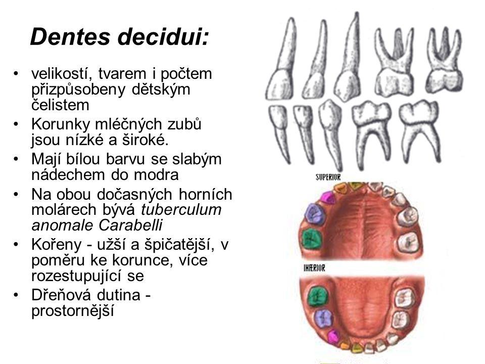 Dentes decidui: velikostí, tvarem i počtem přizpůsobeny dětským čelistem. Korunky mléčných zubů jsou nízké a široké.