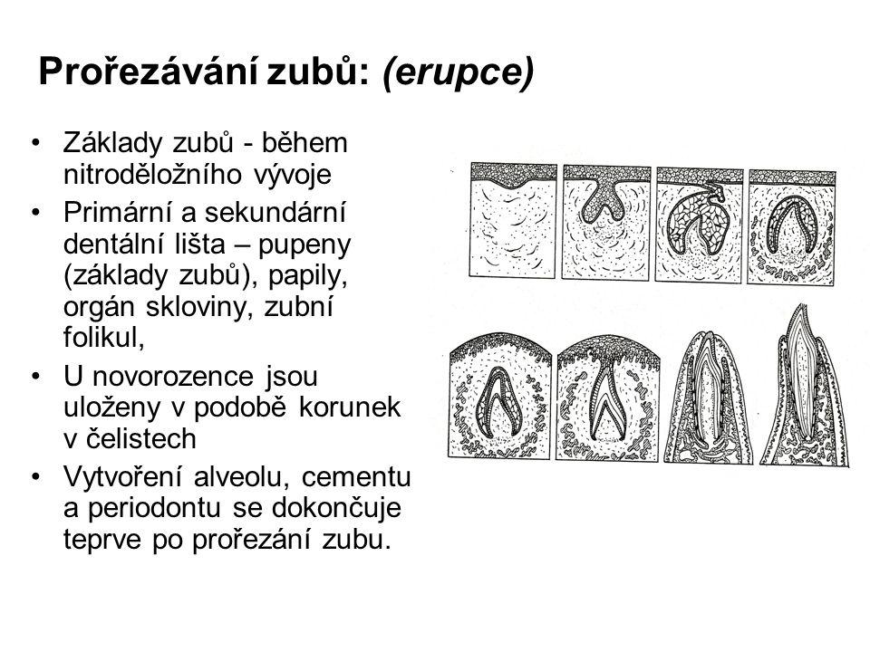 Prořezávání zubů: (erupce)