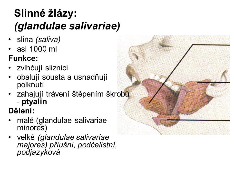 Slinné žlázy: (glandulae salivariae)