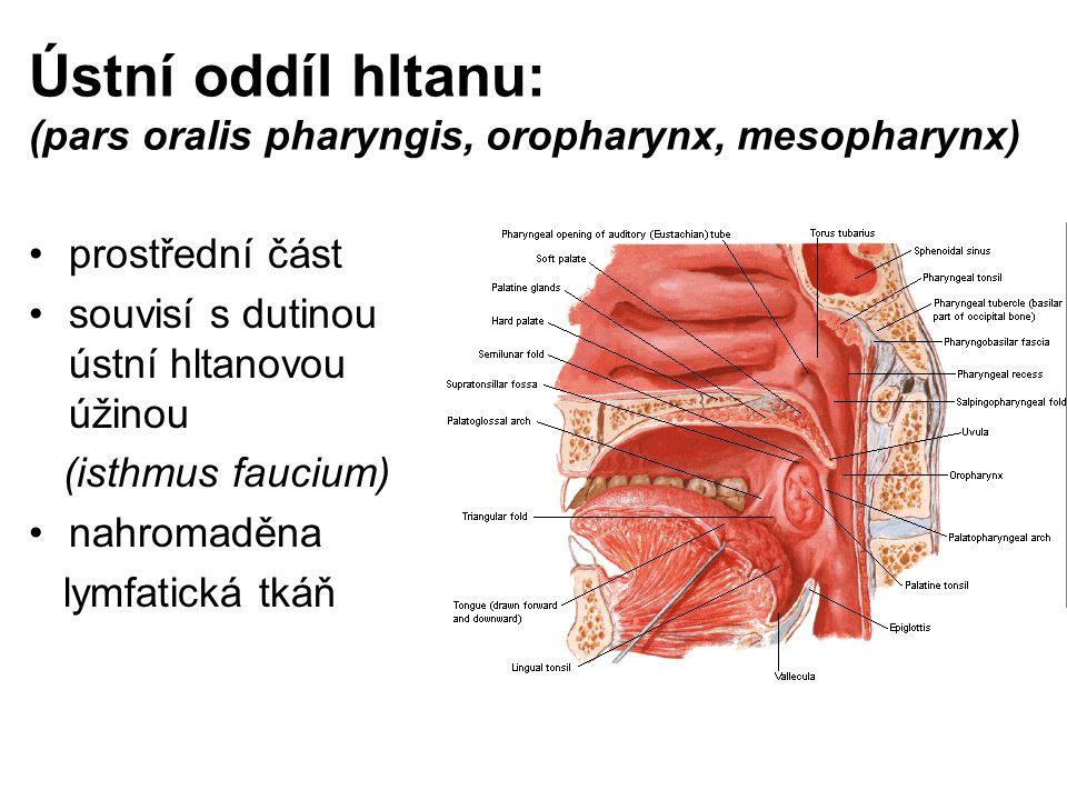 Ústní oddíl hltanu: (pars oralis pharyngis, oropharynx, mesopharynx)