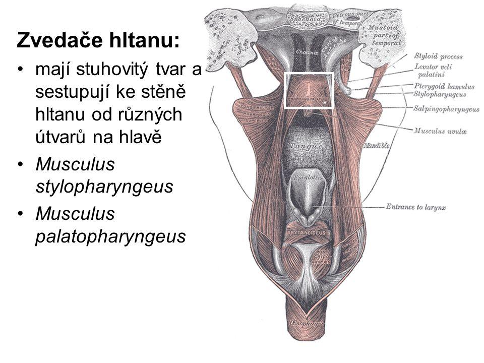 Zvedače hltanu: mají stuhovitý tvar a sestupují ke stěně hltanu od různých útvarů na hlavě. Musculus stylopharyngeus.