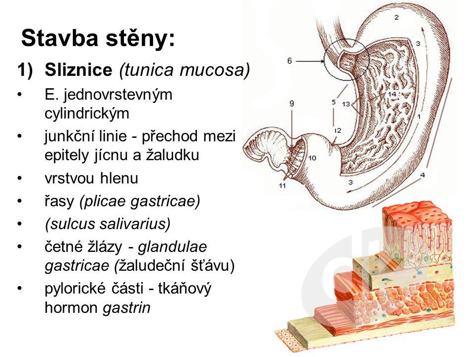 Stavba stěny: Sliznice (tunica mucosa) E. jednovrstevným cylindrickým