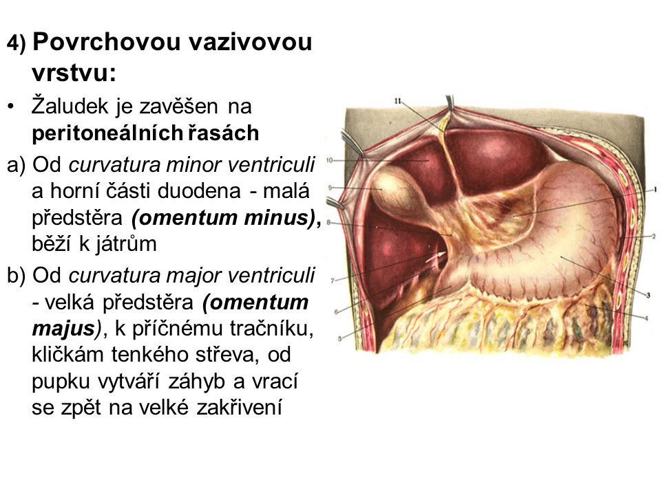 4) Povrchovou vazivovou vrstvu: