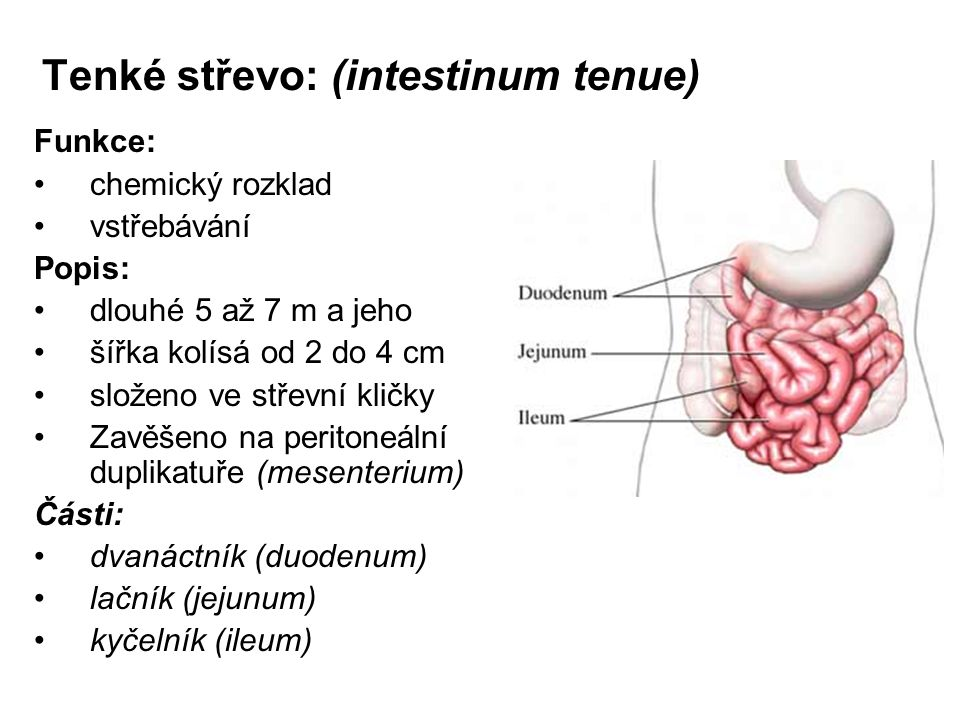 Tenké střevo: (intestinum tenue)