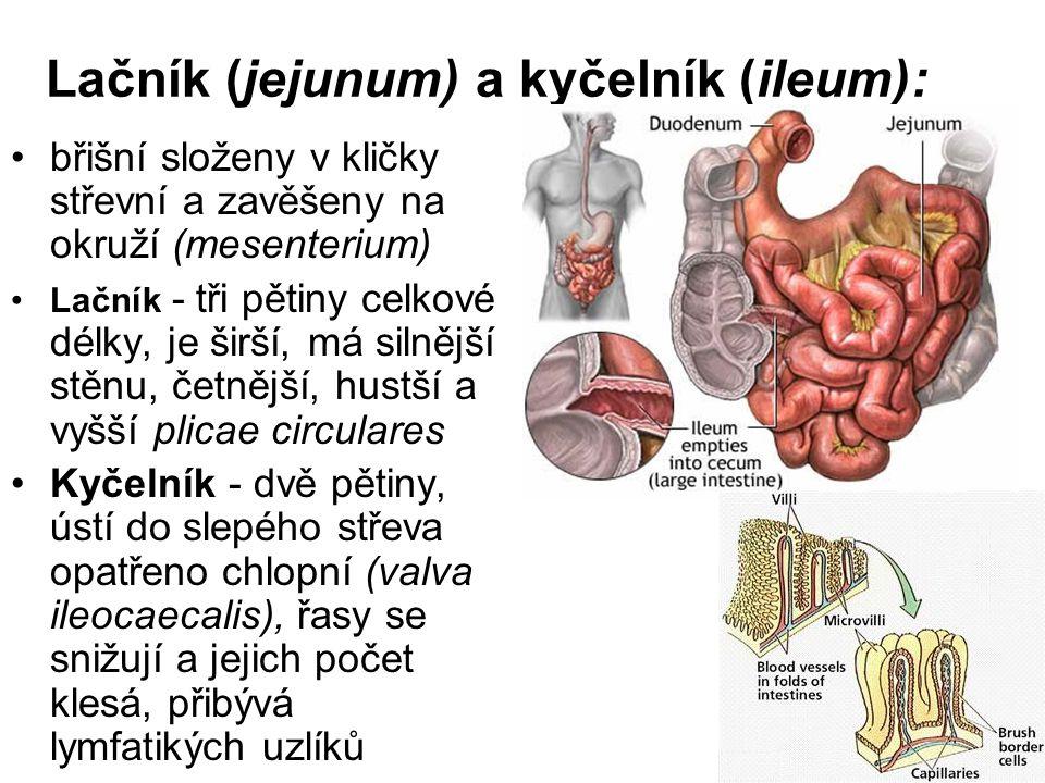 Lačník (jejunum) a kyčelník (ileum):