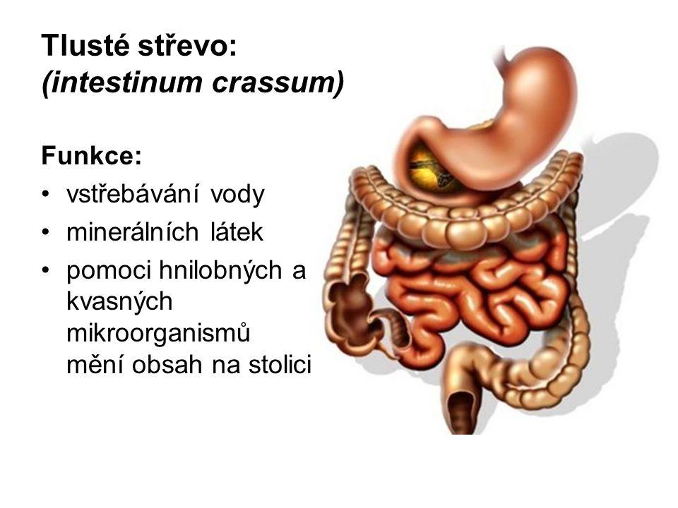Tlusté střevo: (intestinum crassum)