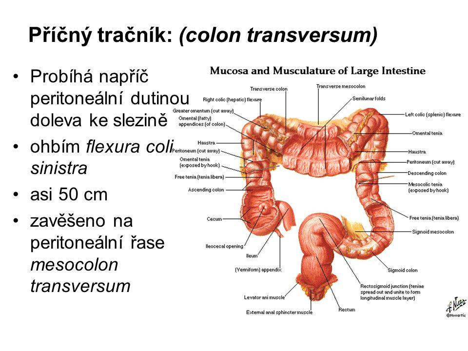 Příčný tračník: (colon transversum)