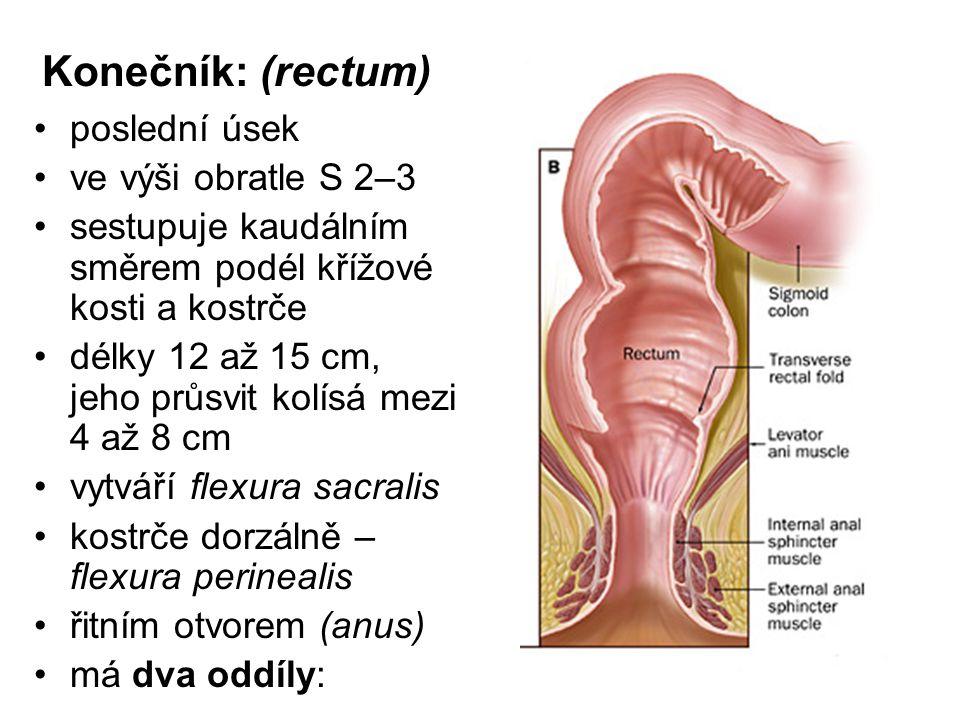 Konečník: (rectum) poslední úsek ve výši obratle S 2–3